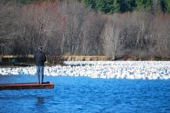 Oies des neiges sur le lac Massawippi, Ayer's Cliff, Québec.